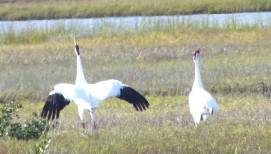 Whooping Cranes, Aransas, Texas