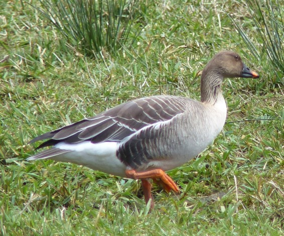 Tundra Bean Goose, Nestucca Bay, Oregon