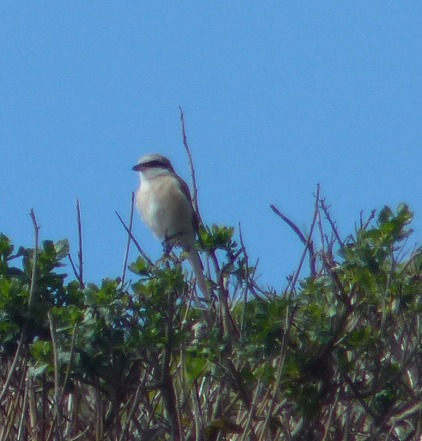 Brown Shrike, Mendocino California