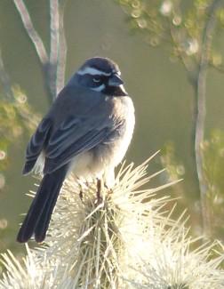 Black-throated Sparrow, Tucson