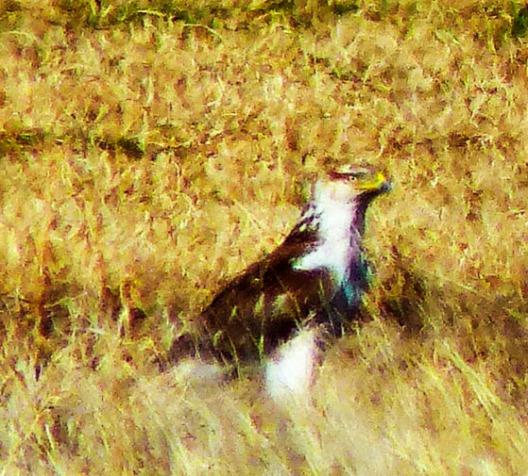 Ferruginous Hawk, Sulphur Springs Valley, Arizona