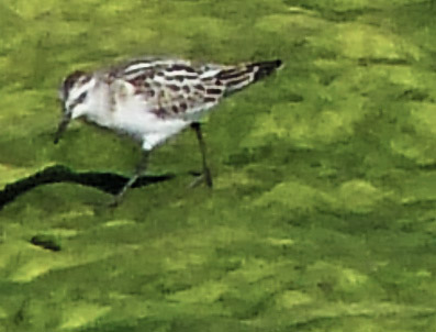 Little Stint, Sydney, BC