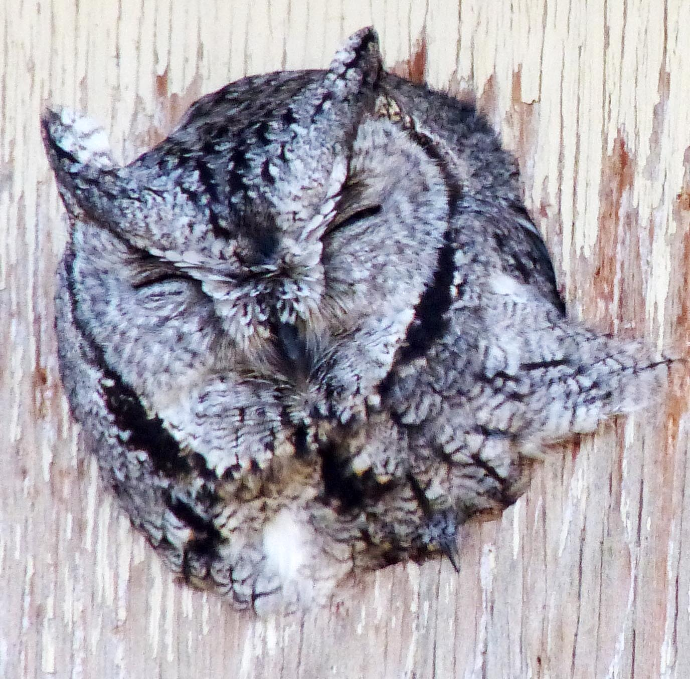 Screechowl20150117
