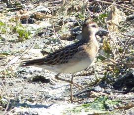 Sharp-tailed Sandpiper, Saanichton Spit, BC