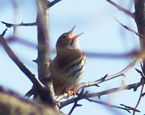 Ovenbird220140509