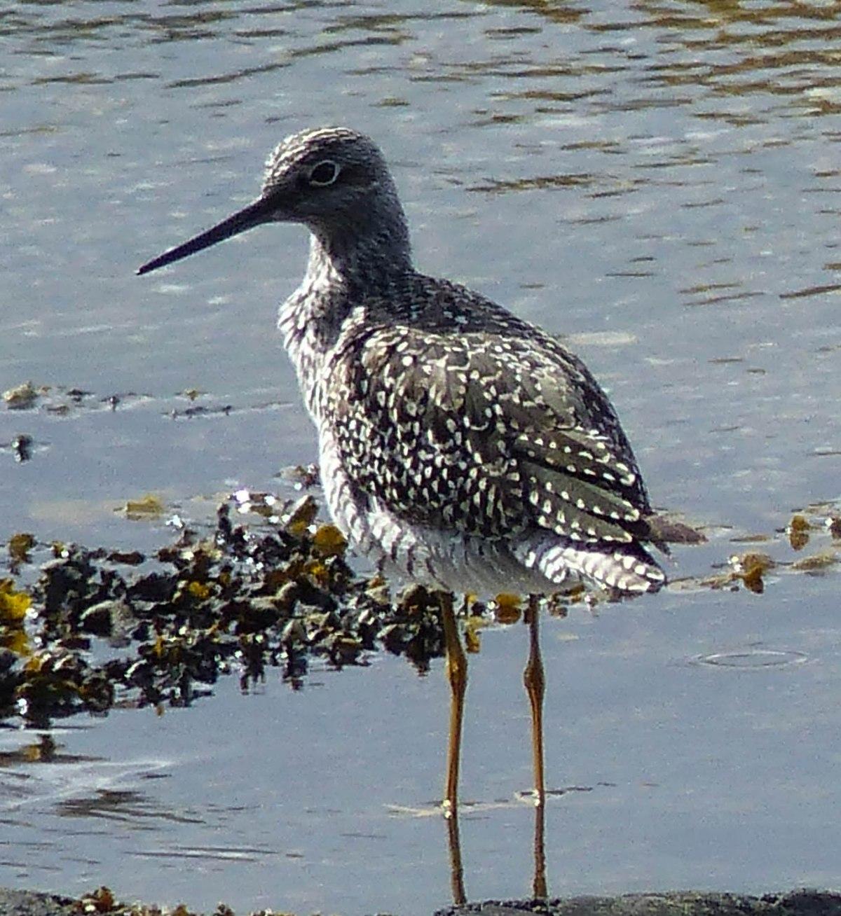 Gray's Harbor, Washington: ShorebirdsRevisited