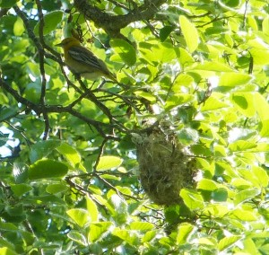 Bullock's Oriole and Nest, Bear Creek, Oregon