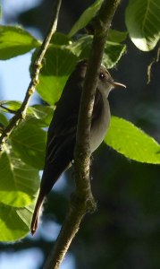Western Wood Peewee. Bear Creek, Oregon