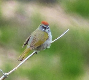 Green-tailed Towhee, Mount Ashland