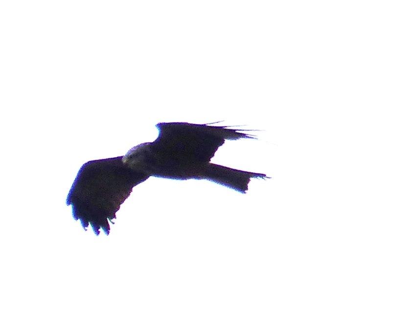 BlackkiteApr42016