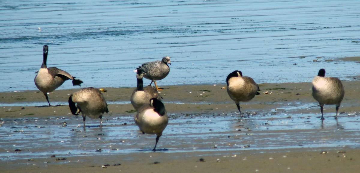 Rare Birds – The EmperorGoose