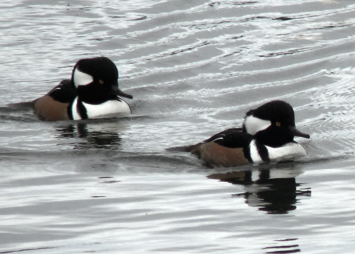Autumn Ducks: HoodedMerganser