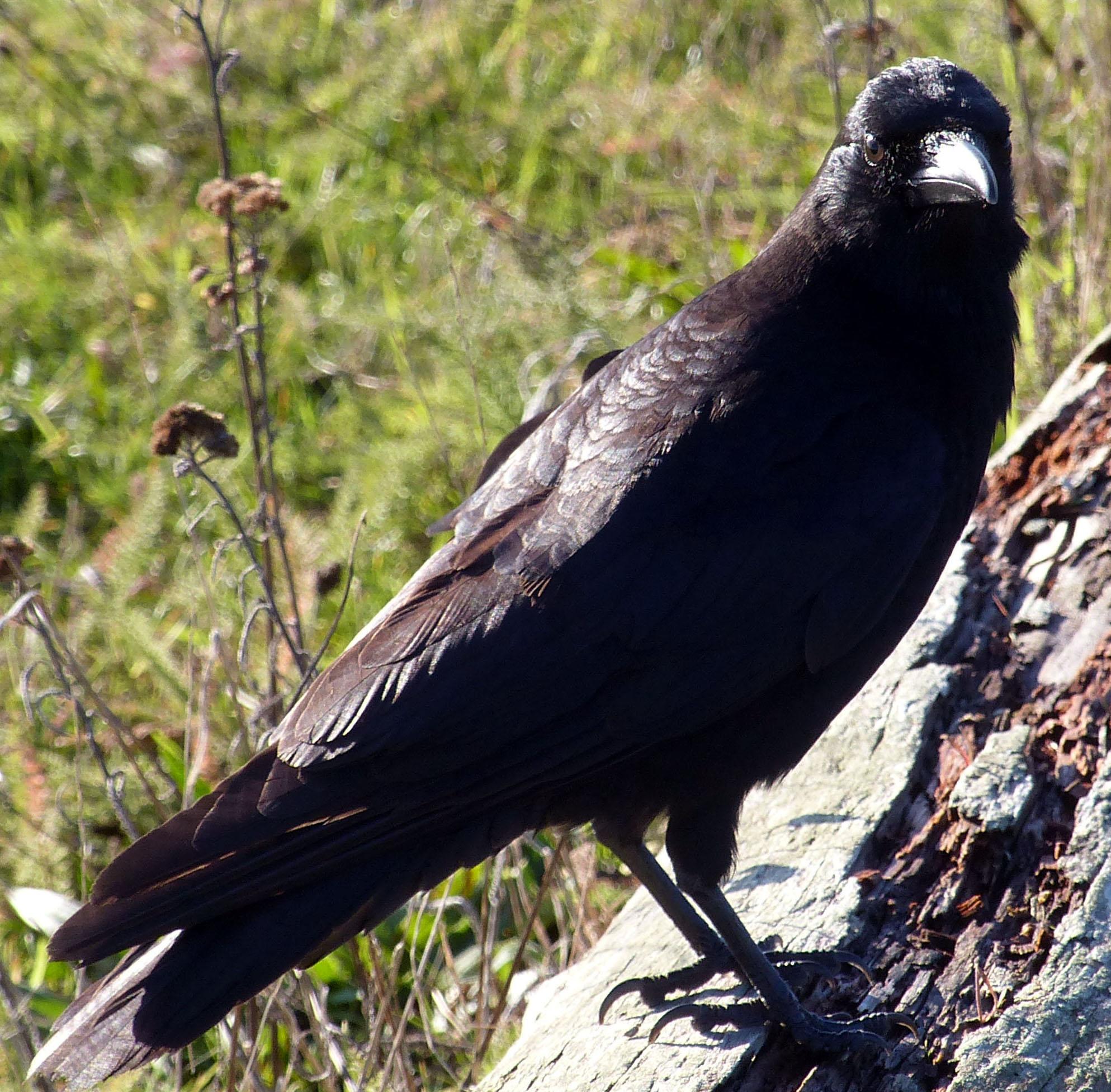 Crow2no212016x