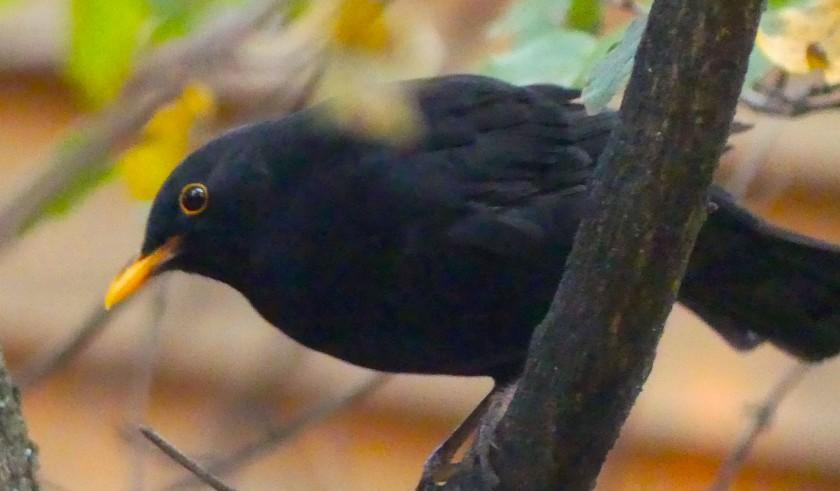 BlackbirdOc1818.jpg