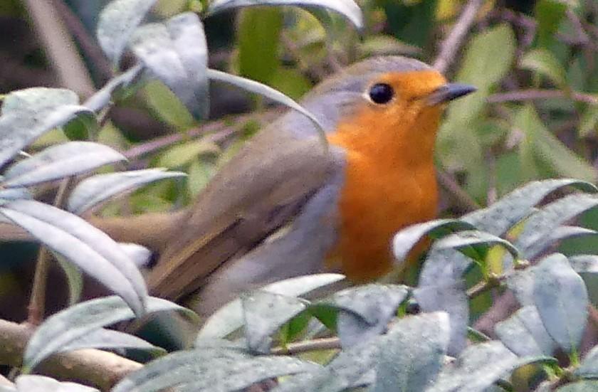 Robin2oc1918